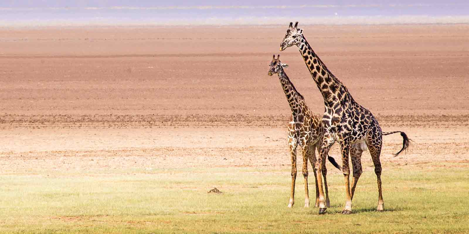 Pair of giraffe on savannah in Lake Manyara