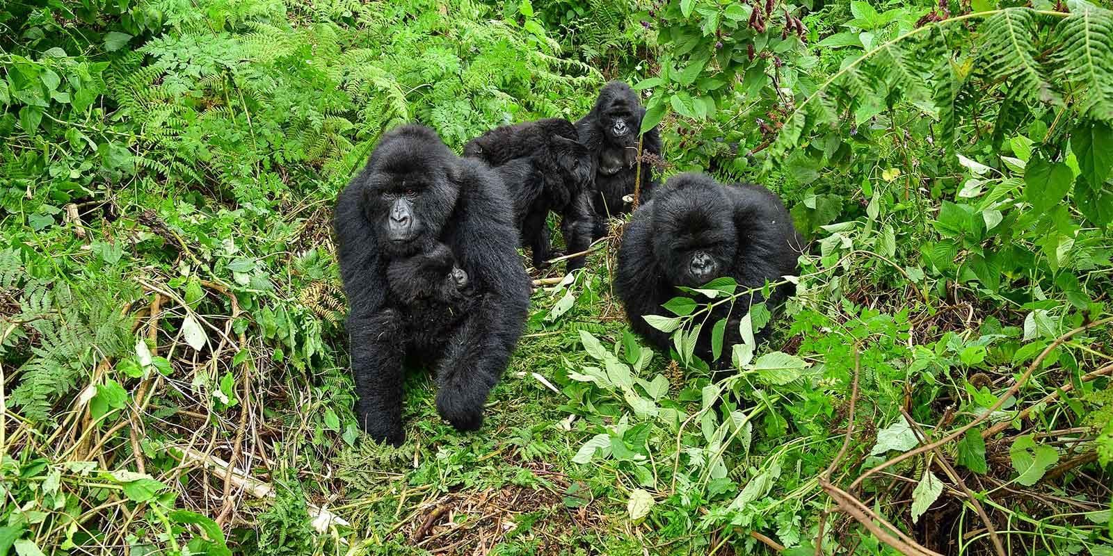 Group of mountain gorillas walking through Bwindi Impenetrable National Park in Uganda