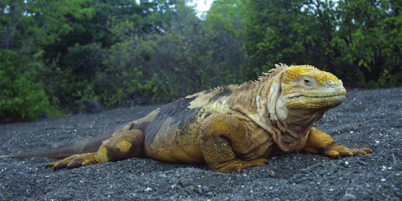 Iguana on volcanic black beach in Galapagos Islands