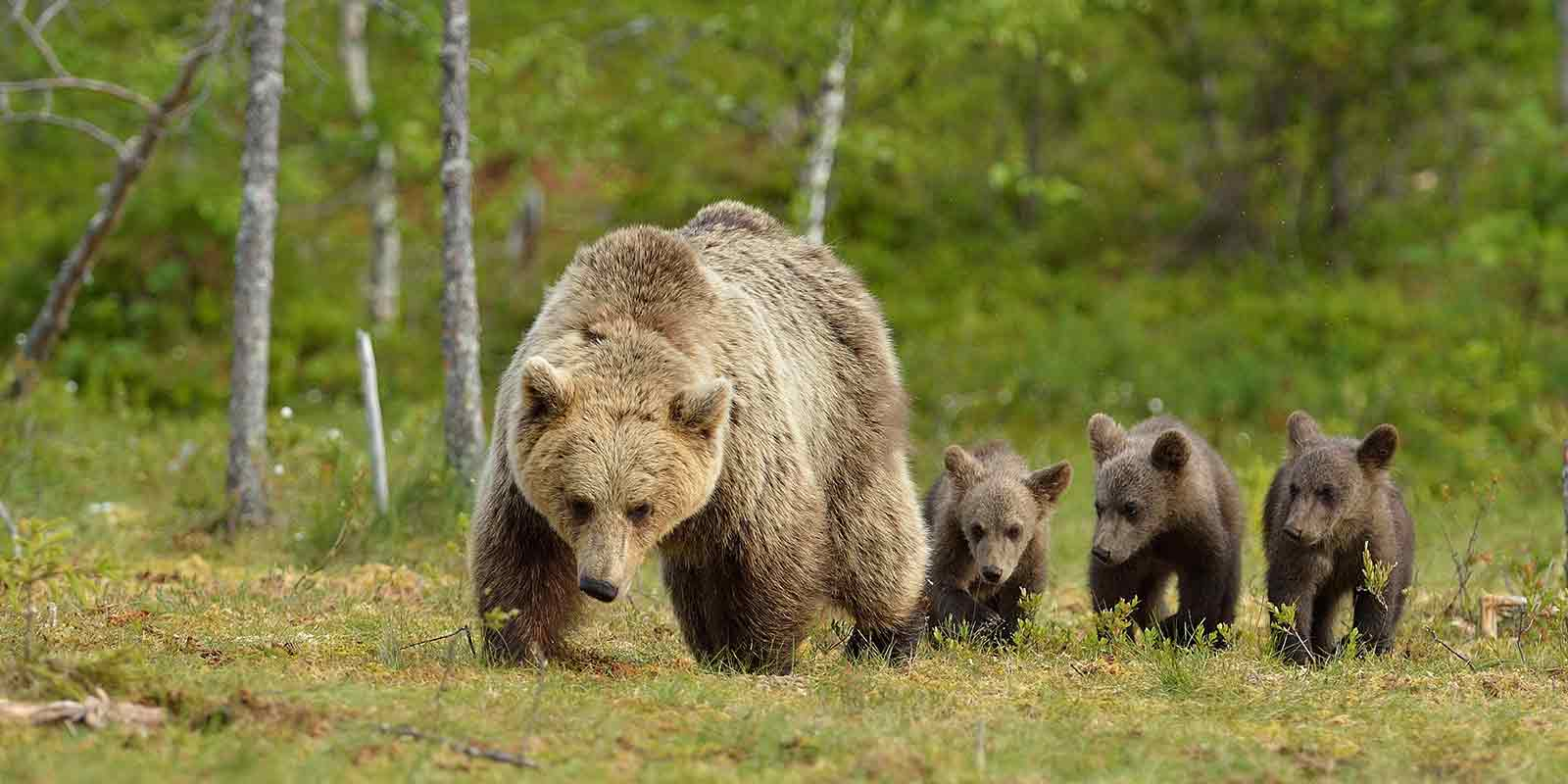 Brown bear family of mother and three cubs walking through the forest in Finland
