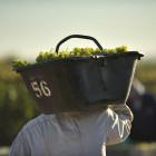 Man carrying grape harvest at vineyard in Mendoza