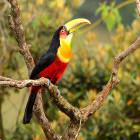 Green billed toucan