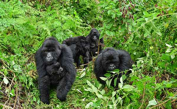 Group of mountain gorillas walking through Bwindi Impenetrable National Park in Uganda