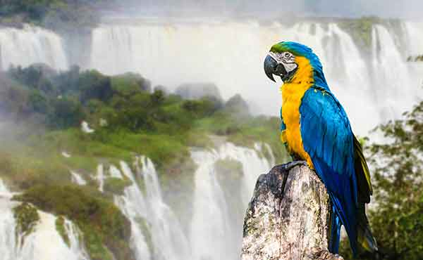 Colourful parrot with Iguazu Falls in the background, Argentina