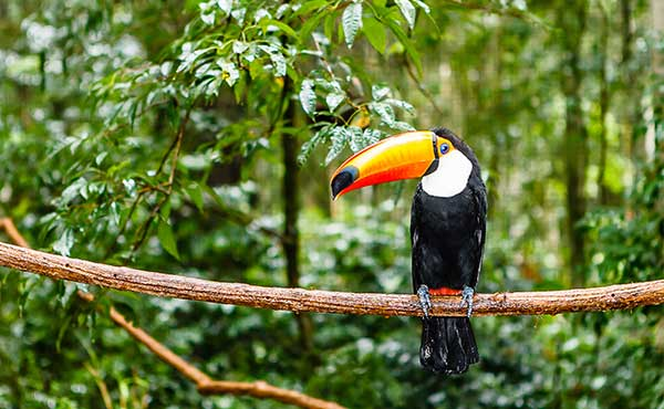 Toucan sitting on branch in Brazilian rainforest